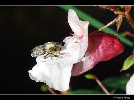 Drüsiges Springkraut